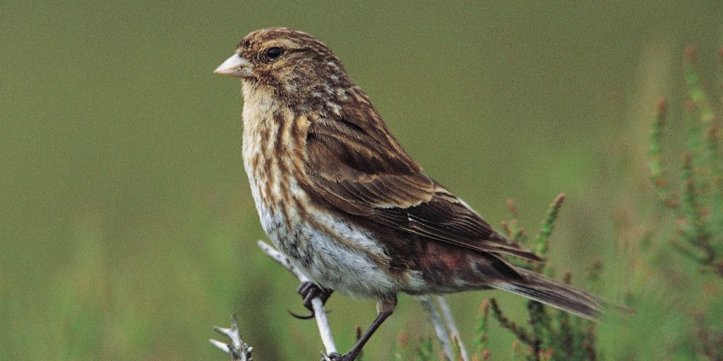 Twite (Carduelis flavirostris): Adult male percheds on heather in breeding habitat on moorland.  Yorkshire, England.  June 2000