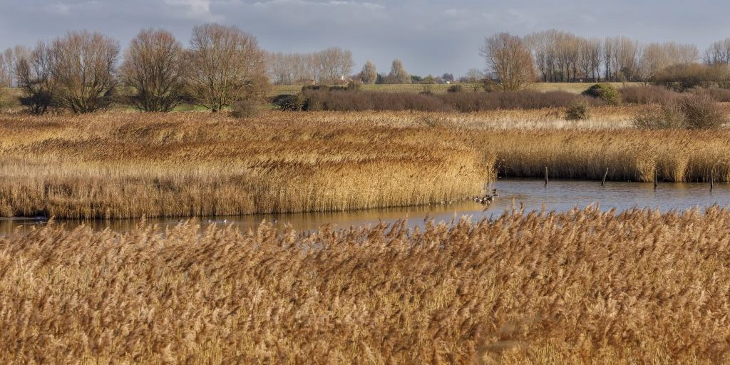 Breach Pool reedbeds, RSPB Pagham Harbour Nature Reserve, West Sussex, January 2019