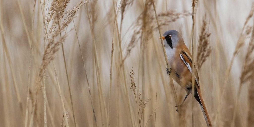 Bearded tit Panurus biarmicus, adult male in reedbed, Oare Marshes, Kent, March
