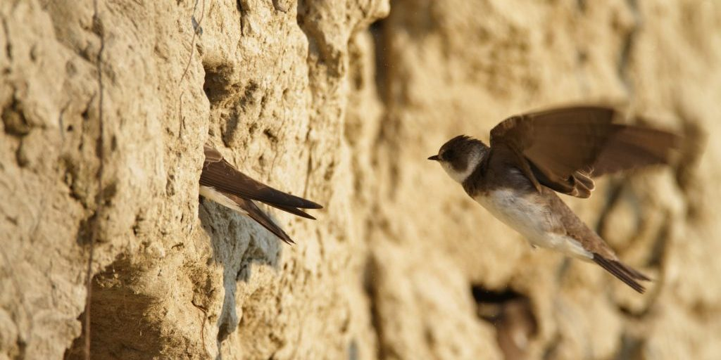 Sand martin from the Drava River, Croatia