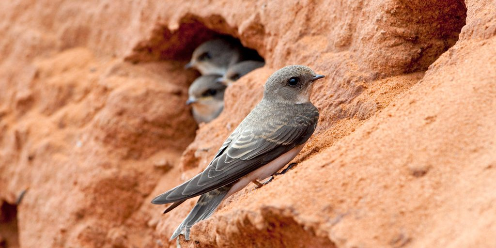 Sand Martin Riparia riparia, juvenile near entrance to nest burrow, Worcestershire, England