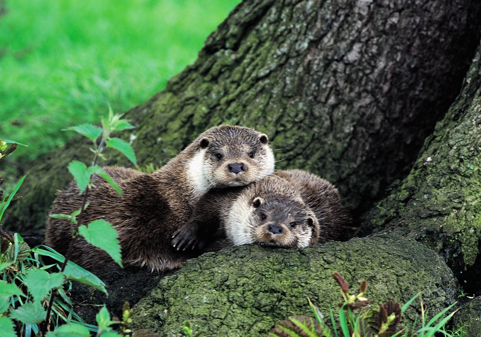 Otters, Lutra lutra, lying under tree